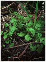 Clover Patch by Avaly