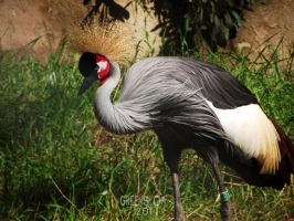 King of birds by GreenSlOw