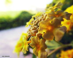 Yellows by asiaibr