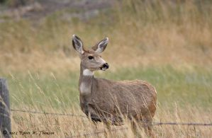 Mulie Doe by hunter1828