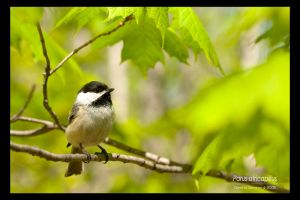Parus atricapillus by cybercoyote
