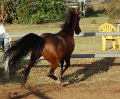 JA Arab Bay cantering turn from behind by Chunga-Stock