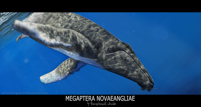 Megaptera novaeangliae by AngelMC18