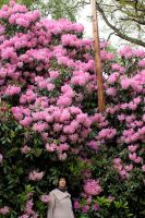 Rhododendron Lady Pine by aegiandyad