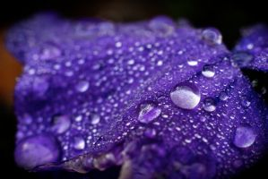 Drops on a Petal by explicitly