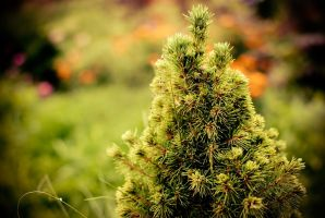Picea by devi-cry