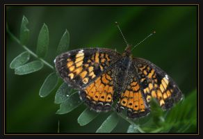 butterfly 9 by RichardRobert