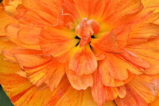 Orange Flower by Kumir123