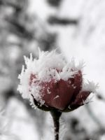 frozen rose by ExoticMan