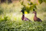 mallard couple by Wunderling