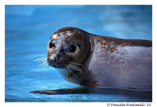 Harbour Seal by TVD-Photography