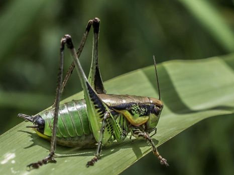 Large grasshopper by An-Drake