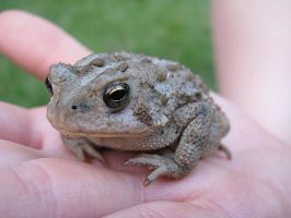 American Toad by Tailfeathrz