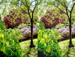 Red Japanese Maple Mauve Ericoid Shrub by aegiandyad