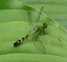 Eastern Pondhawk June 27 2011 by seto2112
