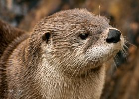 River Otter by lost-nomad07