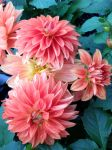 Pink Dahlias by lamorth-the-seeker