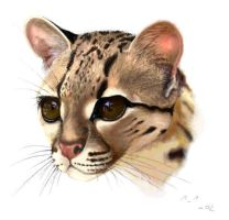 margay by wildtoele