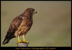 Hawk 1 by KSPhotographic