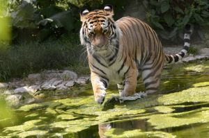 Tiger in Water 3 by Lakela
