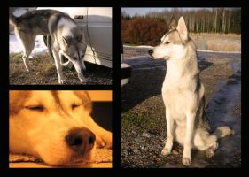 Husky Collage by kallerhult
