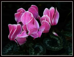 Touch of Pink by kanes