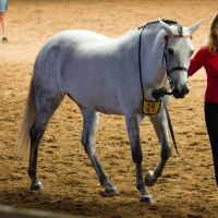 STOCK - 2014 Andalusian Nationals-47 by fillyrox