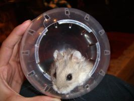 hamster 6 by meihua-stock