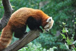 red panda 1.19 by meihua-stock