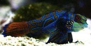 Mandarin dragonet II by Parides