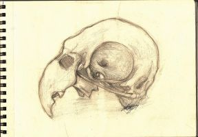 Parrot skull sketch by CarinaReis