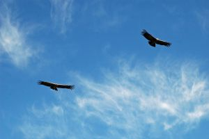 Flight of the Condor by 100-days