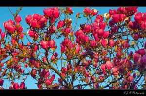 Magnolia blossoms by Iulian-dA-gallery