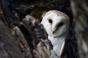 Barn Owl by PauloALopes