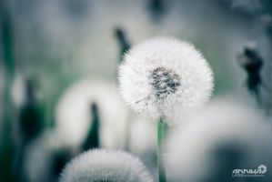 blowball by AnnikaLikes
