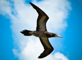 Brown Booby Above by SooksVI