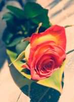 Red and Yellow Rose I by Eowyn-86