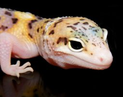 Leopard Gecko Face by Toxic-Muffins-Studio