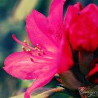 rhododendron by lilly-gerbil