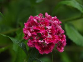 Sweet William 12 by botanystock