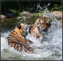 Tiger Infight II by AF--Photography