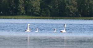Swan family by Proximax
