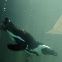 Penguin Diving Underwater by FantasyStock