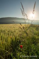 grass and corn poppy at sunrise by Bastlwastl84