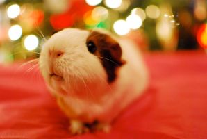 A Cavy Christmas by Ridiculissa