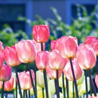 tulips by Iridescent-happinesS