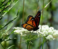 Viceroy on Queen Anne's Lace by Michies-Photographyy