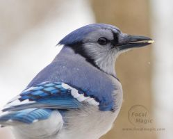 Blue Jay 2 by JohnSlaughter