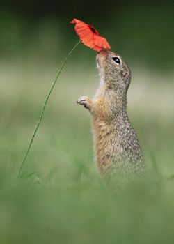 Ground Squirrel and Poppy by JulianRad