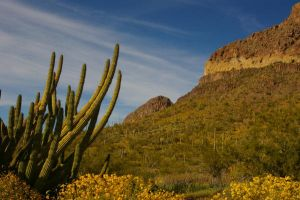 Organ Pipe Cactus by PatGoltz
